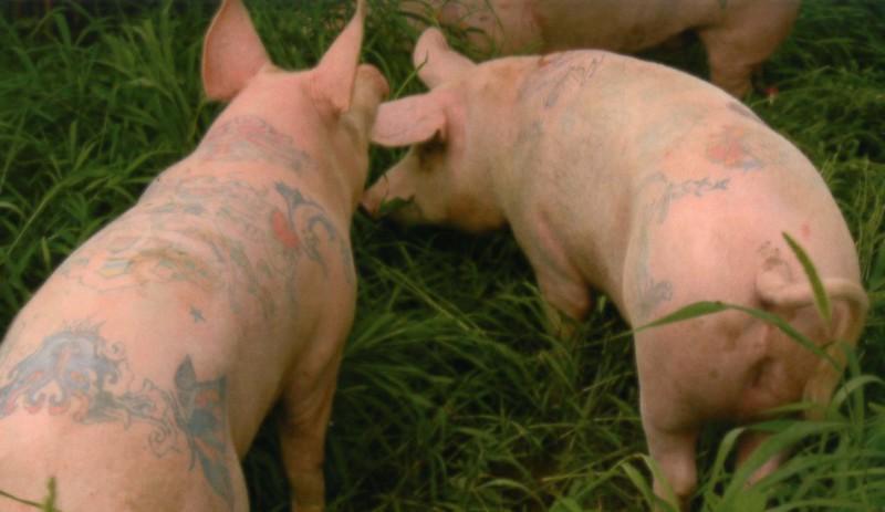 Pigs+tattooed+by+Wim+Delvoye%0A
