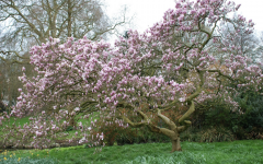 "This Chinese Magnolia in Hyde Park is an example of ""restoring our earth"" which is this year's Earth Day theme. To compensate for the destruction that climate change has caused, below are five actions that will help to repair nature and biodiversity."